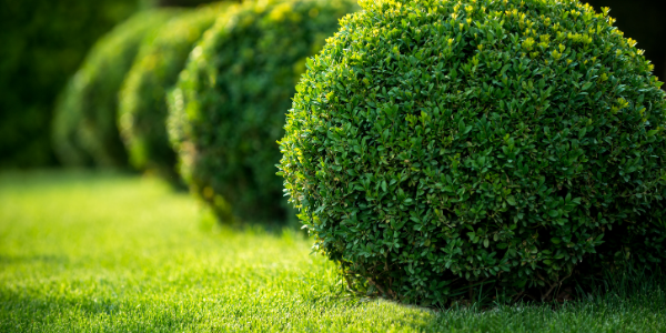 photo of healthy boxwoods pruned to be round