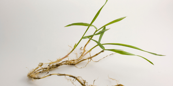 Crabgrass with runners attached
