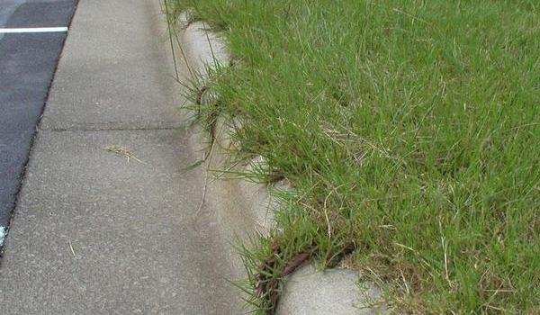 image of Bahiagrass
