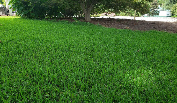 image of st. augustine grass