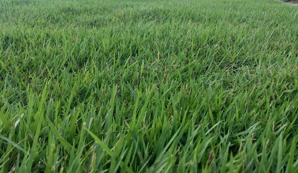 image of zoysia grass or zoysiagrass