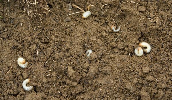 image of grubs in soil