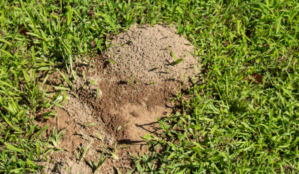 image of a fire ant mound in lawn