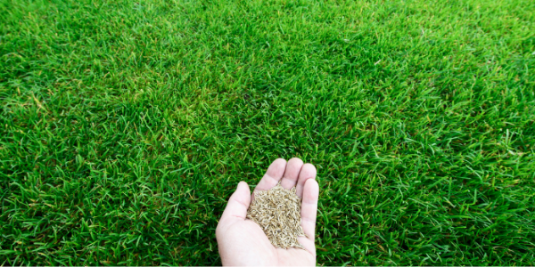 image of a hand holding grass seed
